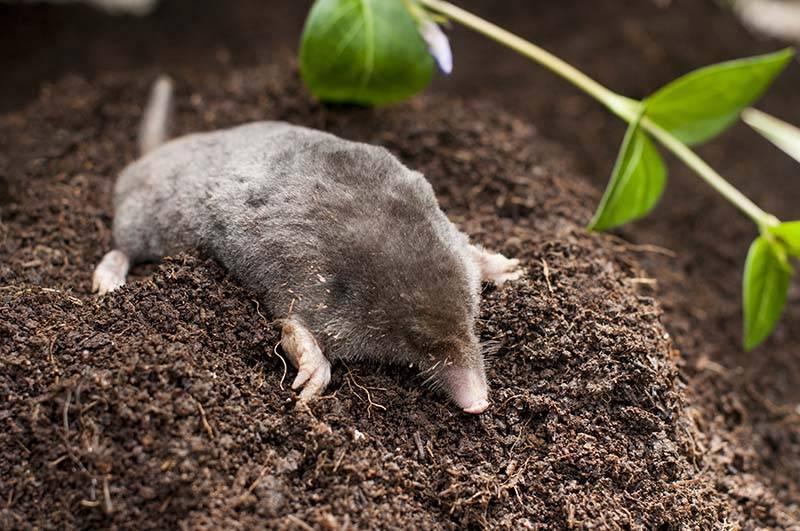 Mole out of soil