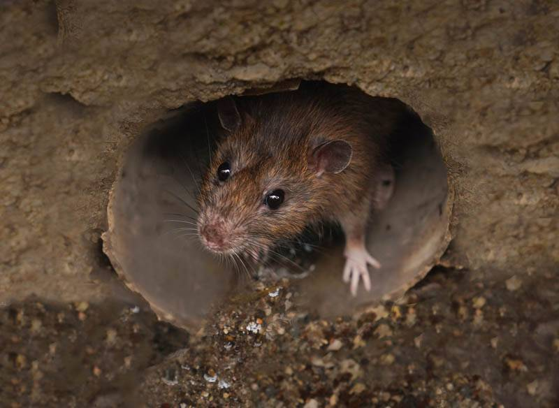 mouse looking out of hole