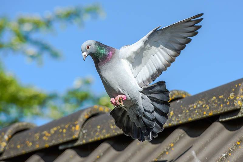 pigeon flying from nest