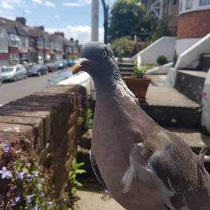 pigeon on wall