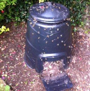 wasps flying around a compost bin