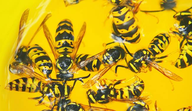 What To Do About Wasps