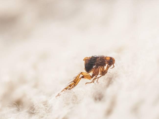 flea removal brighton