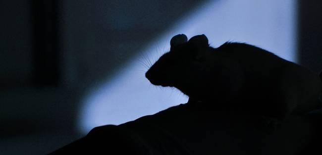 rodent control Brighton